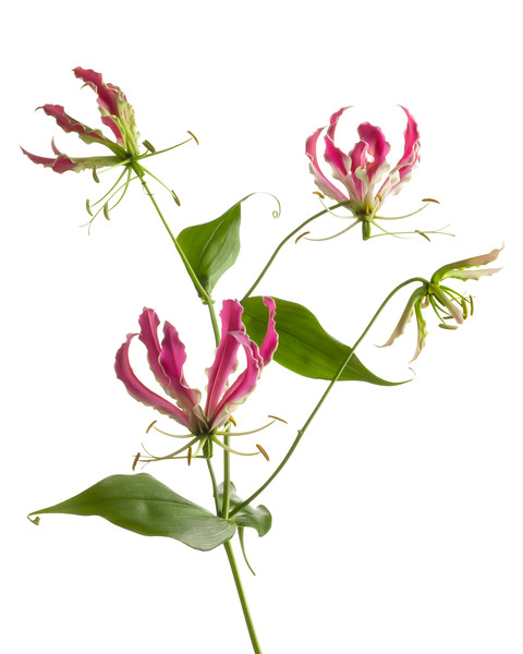 Gloriosa superba 'Rothschildiana', Glory lily