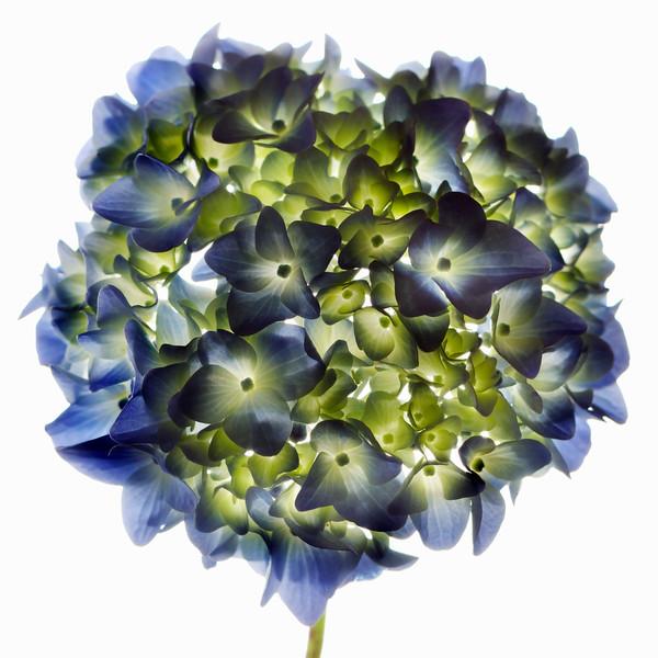 BT Flower Studie Nr.: 42-21778903