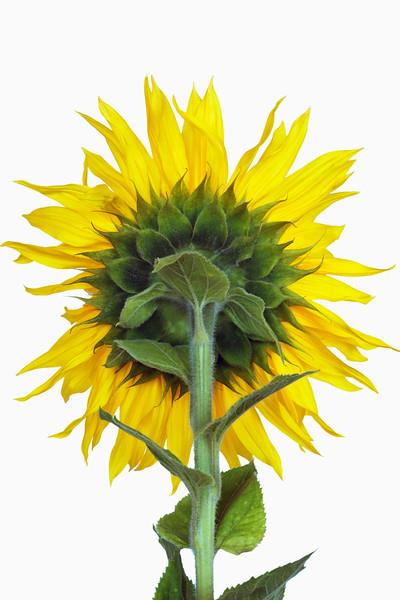 BT Flower Studie II Nr.: 42-25334519
