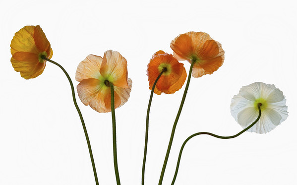 BT Flower Studie II Nr.: 42-62766198