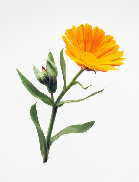 BT Flower Studie II Nr.: Calendula officinalis, Pot marigold
