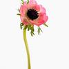 Anemone coronaria, Windflower