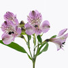 Alstroemeria cultivar, Peruvian lily