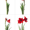 hippeastrum 'floris hekker', amaryllis, red subject, white background.