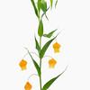 Sandersonia aurantiaca, Christmas bells