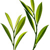 Prunus laurocerasus, Cherry laurel