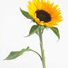 Helianthus annuus 'Sunrich orange', Sunflower