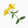 hypericum perforatum, st john's wort, yellow subject, white background.