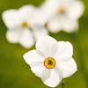 Narcissus poeticus, Pheasant's Eye daffodil