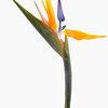 Strelitzia reginae, Bird of Paradise