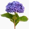 Hydrangea macrophylla 'Diamond blue', Lacecap hydrangea