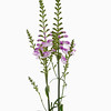 Physostegia virginiana, Obedient plant