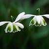 Galanthus greatorex 'Double Canon', Snowdrop