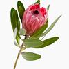Protea neriifolia x susannae, Pink ice protea