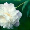 Paeonia lactiflora, Chinese peony