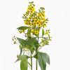Lysimachia vulgaris, Yellow loosestrife