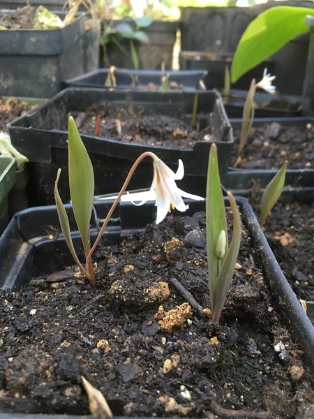 Erythronium from Jim's recent personal order.  He will release some for purchase to benefit FS.