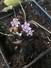 Hepatica from Jim's recent personal order.  He will release some for purchase to benefit FS.