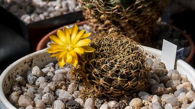 Sulcorebutia xanthocantha