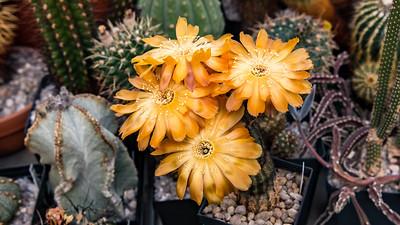 Lobivia amblayensis