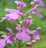 Purple Fringeless Orchid (Platanthera peramoena)