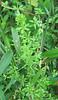 Stiff Marsh Bedstraw (Galium tinctorium)