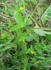 Dwarf St Johnswort (Hypericum mutilum)