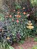 Diebold dahlia, lycoris