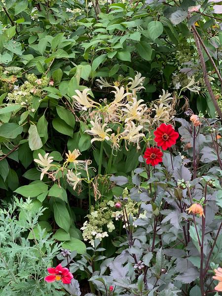 Lycoris, dahlias, hydrangea