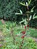 Okra veg garden MofSV
