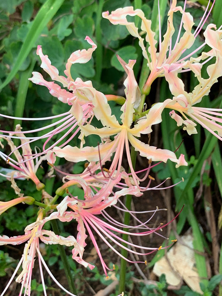 Lycoris-- Bobbie could not remember which