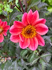 Diebold single dahlia