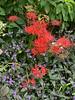 Lycoris radiata or r. hybrid, Tinantia pringleri