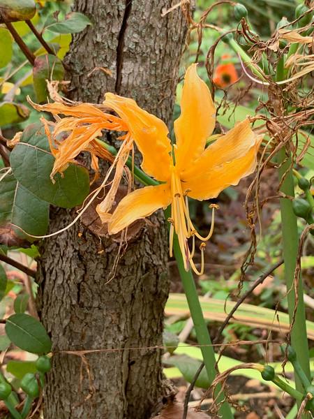 Orange Lycoris