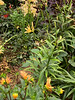 Yellow/orangeish Lycoris, dahlias
