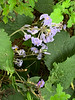 Bush clematis, Diebold's, house garden