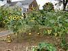 Veg garden MofSV, sunflowers, some sort of melon