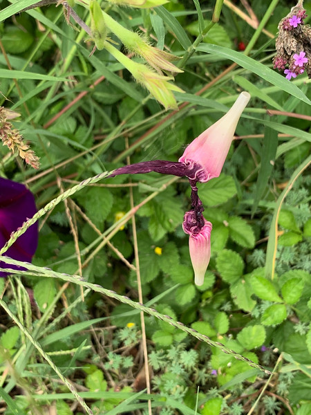 Dropped morning glory blooms stuck on grass seed head