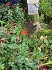 2x Lycoris, mum foliage, dahlias