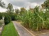 Veg garden M of SV, corn