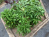 Veg garden MofSV