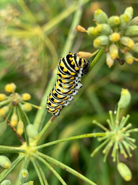 Black swallowtail caterpillar on fennel