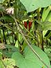 last Spigelia blooms