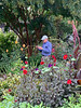 Bob D, dahlias, purple morning glory, crape myrtle, canna