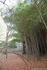 Phyllostachys nuda, edge of bamboo grove