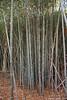 Phyllostachys nuda