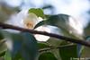 Camellia x 'Snow Flurry'
