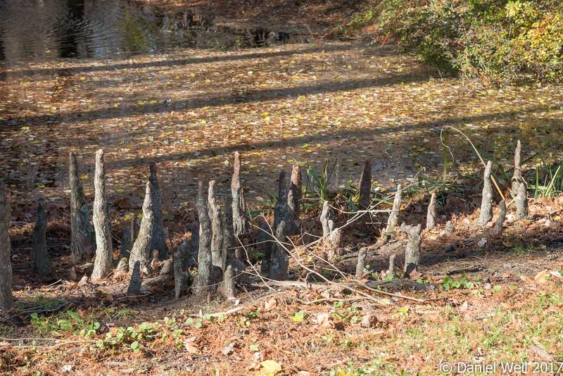 Cypress knees