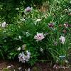 ITOH Peony - Cora Louise, Siberian Iris - 'Miss Apple'