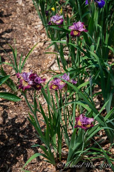 Siberian Iris - Miss Apple